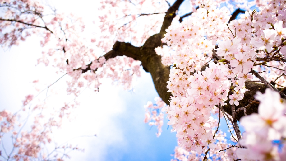Spring-Sakura-Wallpaper